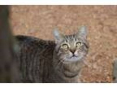 Adopt Monty a Domestic Short Hair