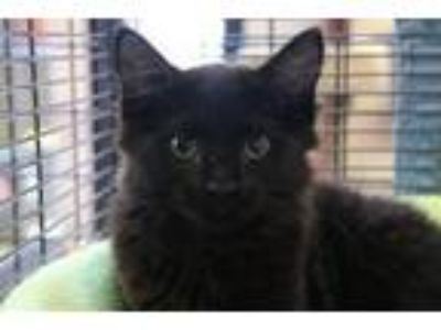 Adopt Winry a Domestic Long Hair, Extra-Toes Cat / Hemingway Polydactyl