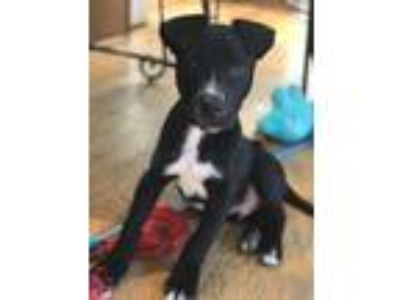Adopt Finn a Black - with White Labrador Retriever / Pit Bull Terrier / Mixed