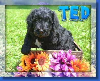 Ted Male F1B Labradoodle