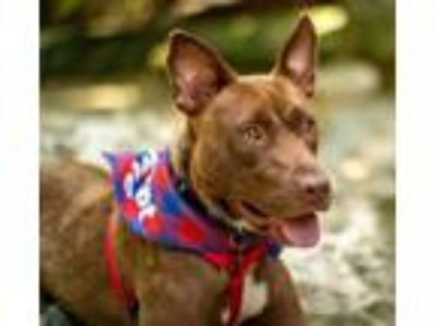 Adopt Princess a Basenji, Labrador Retriever