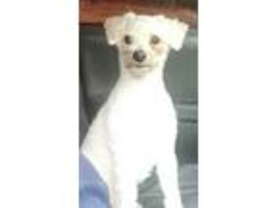 Adopt Buddy a White Poodle (Miniature) / Mixed dog in Lakeland, FL (25867143)