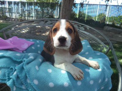 Beagle PUPPY FOR SALE ADN-94425 - Joys Female Beagle