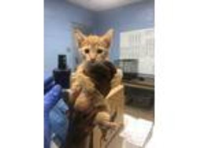 Adopt Skunk a Orange or Red Domestic Shorthair / Domestic Shorthair / Mixed cat