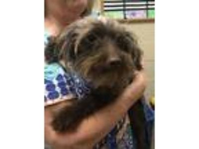 Adopt Gretel a Yorkshire Terrier, Poodle