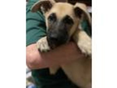 Adopt A025480 a Tan/Yellow/Fawn - with Black German Shepherd Dog / Mixed dog in