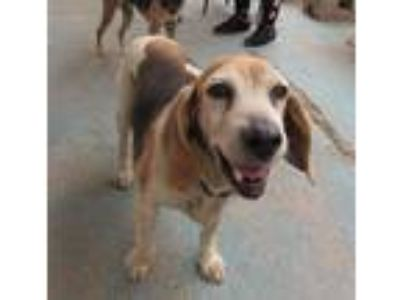 Adopt Molly a Tricolor (Tan/Brown & Black & White) Beagle / Mixed dog in Apple