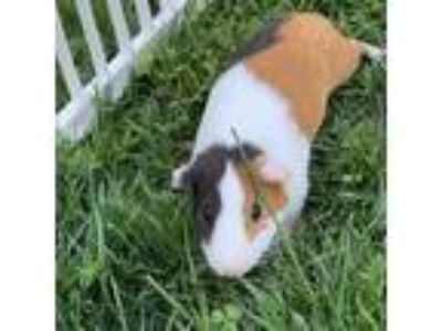 Adopt Grant a Black Guinea Pig / Mixed small animal in Washington, DC (25081413)