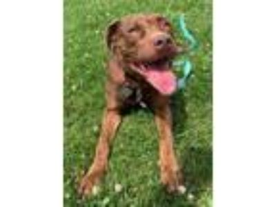 Adopt Ellie a Pit Bull Terrier, Mixed Breed