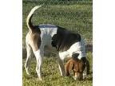 Adopt Johnny Walker a White - with Brown or Chocolate Hound (Unknown Type) /
