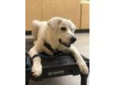 Adopt Sora a White Great Pyrenees / Labrador Retriever / Mixed dog in Euless