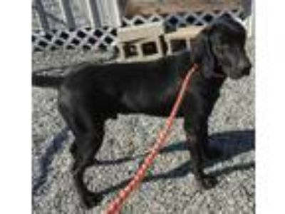 Adopt Earl Hounders a Black Hound (Unknown Type) / Mixed dog in Boston