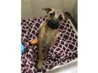Adopt Rose a Black Mouth Cur / German Shepherd Dog / Mixed dog in Silverdale