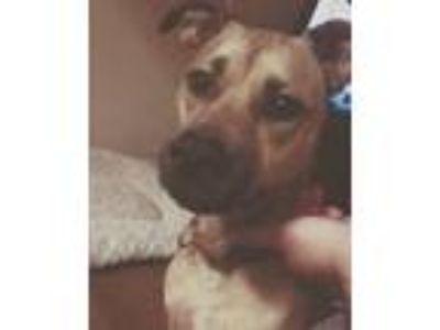 Adopt Georgia a Tan/Yellow/Fawn Labrador Retriever / Bull Terrier / Mixed dog in