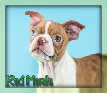 Red Merle Male Boston Terrier ACA