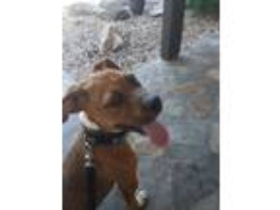Adopt Petunia a Red/Golden/Orange/Chestnut Boxer / Mixed dog in Haines City