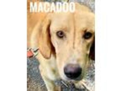 Adopt MacAdoo a Golden Retriever / Hound (Unknown Type) / Mixed dog in