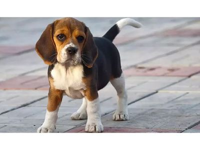 "BEAGLE PUPPIES AKC REG, 13"", FEMALES, TRI ..."