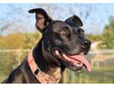 Adopt Corazon a Boston Terrier, Border Terrier