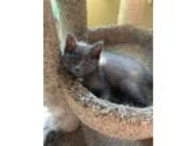Adopt Brody a Domestic Short Hair