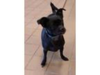 Adopt Belle a Black Pug / Mixed dog in Mesquite, TX (25934865)