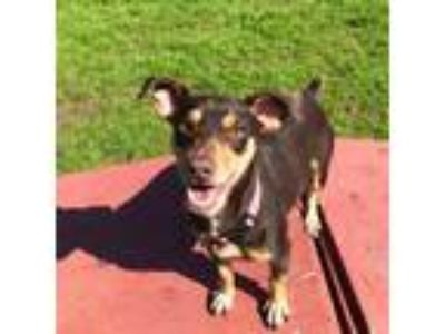 Adopt Carter a Brown/Chocolate - with Tan Miniature Pinscher / Terrier (Unknown
