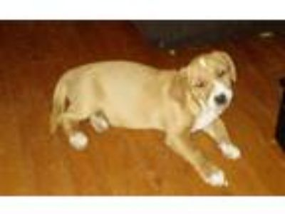 Adopt Cinnamon a Tan/Yellow/Fawn - with White Hound (Unknown Type) / Basset