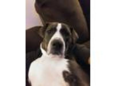 Adopt Duchess a Brindle Border Collie / American Pit Bull Terrier dog in Reno