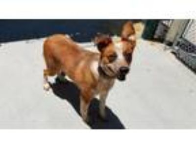 Adopt UNKNOWN a Australian Cattle Dog / Blue Heeler, Mixed Breed