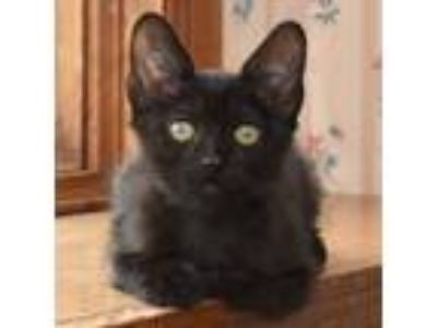 Adopt Temari a All Black Domestic Shorthair / Mixed cat in Palatine