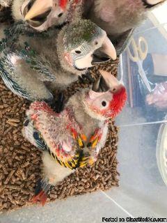 Beautiful Baby Scarlet Macaws
