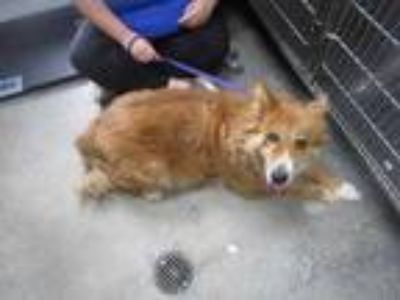 Adopt Xena a Red/Golden/Orange/Chestnut Collie / Mixed dog in Columbiana