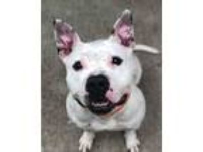 Adopt Patsie a White Pit Bull Terrier / Mixed Breed (Medium) / Mixed dog in