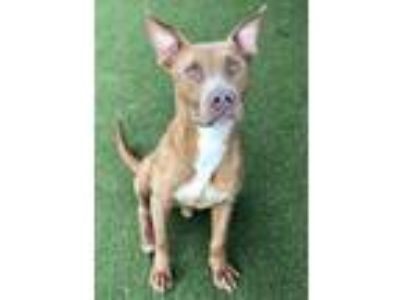 Adopt Little Barton a American Staffordshire Terrier, Pit Bull Terrier