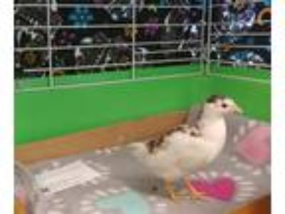 Adopt Chick Jagger (mcas) a Quail bird in Troutdale, OR (25728496)