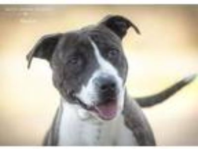 Adopt Malone a Pit Bull Terrier / Mixed dog in Dickinson, TX (24025814)