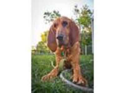 Adopt Dixie Jean a Tan/Yellow/Fawn Bloodhound / Mixed dog in Aurora