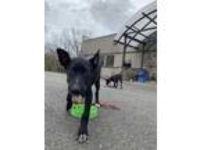 Adopt Parker a Black Retriever (Unknown Type) / Pointer / Mixed dog in