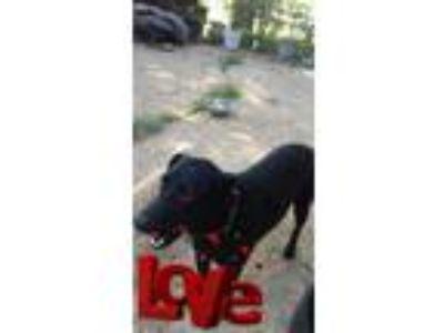 Adopt Onyx a German Shepherd Dog, Black Labrador Retriever