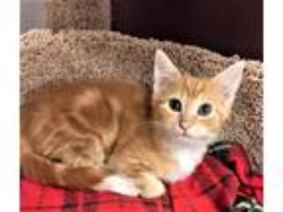 Adopt Kitten Penny a Orange or Red (Mostly) Domestic Shorthair / Mixed (short