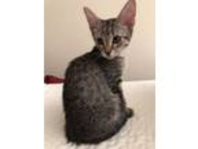 Adopt STRIPES (Mariah) a Domestic Shorthair / Mixed cat in Woodstock