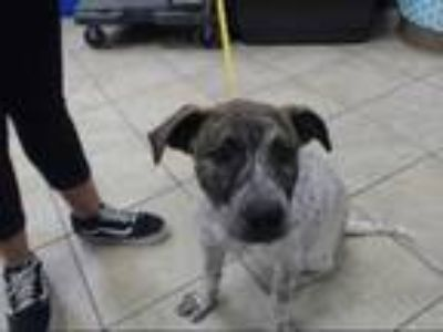 Adopt SILLY a Brindle - with White German Shorthaired Pointer / American Pit