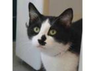 Adopt Black Jack a White Domestic Shorthair / Domestic Shorthair / Mixed cat in