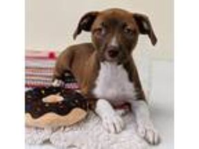 Adopt Cookie Crisps a Brown/Chocolate Labrador Retriever / Shepherd (Unknown