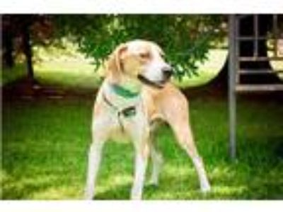 Adopt Elvis a Tan/Yellow/Fawn - with White Hound (Unknown Type) / Mixed dog in