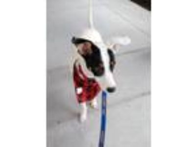 Adopt Mack a Jack Russell Terrier, Beagle