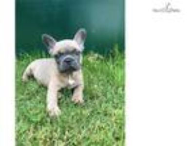 UNIQUE Miniature French Bulldog Blue Fawn