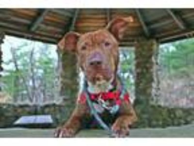 Adopt YAGO a Brown/Chocolate American Pit Bull Terrier / Mixed dog in Dedham
