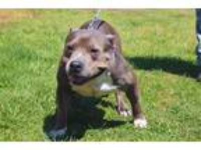 Adopt Leila a Staffordshire Bull Terrier / Mixed dog in Mocksville