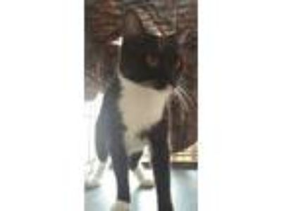 Adopt Mama June a Black & White or Tuxedo Domestic Shorthair / Mixed cat in